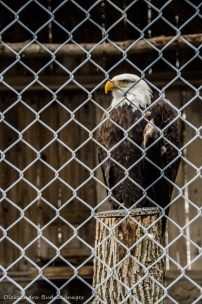 bald eagle at the raptor centre at Mountsber Conservation Area