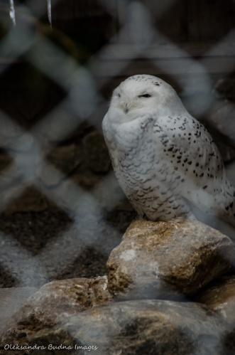 snowy owl at Raptor Centre at Mountsber Conservation Area