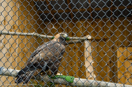 golden eagle at the Raptor Centre at Mountsber Conservation Area