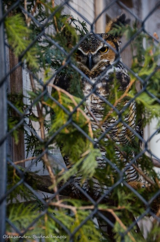 horned owl at the Raptor Centre at Mountsber Conservation Area