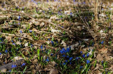 blue spring ephemerals siberian squill
