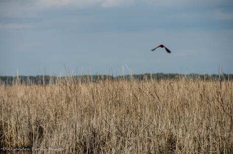 redwinged blackbird in flight