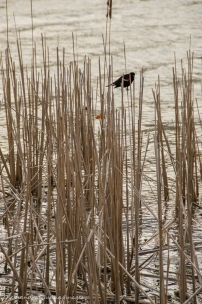 redwinged blackbird in the reeds