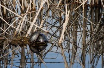 painted turtles at Point Pelee