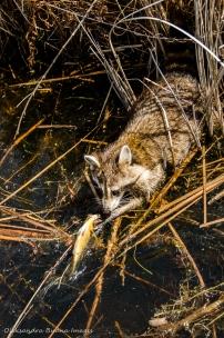 raccoon at Point Pelee