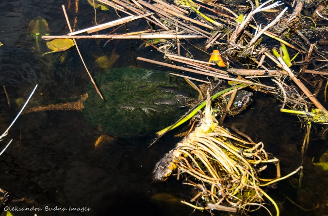 snapping turtle at Point Pelee