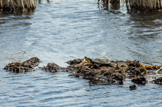 Blanding's turtle at Point Pelee