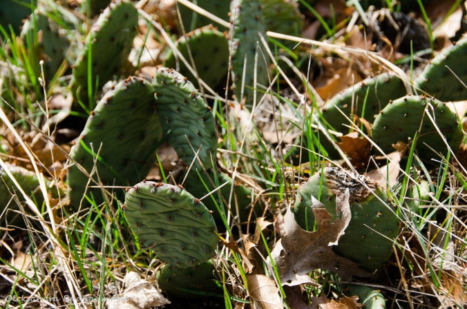 prickly pear cactus at Point Pelee