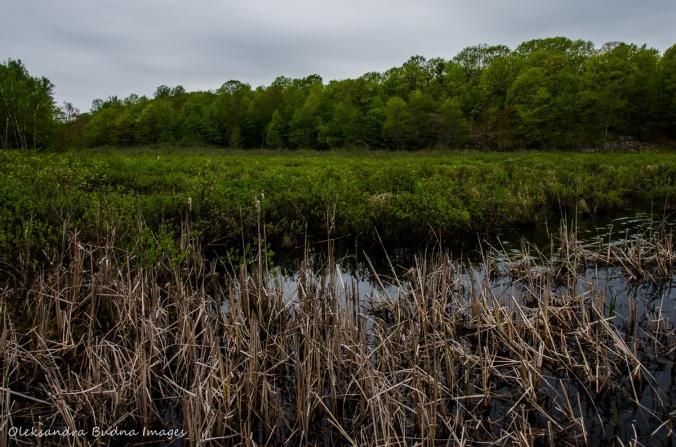 wetland at Frontenac Provincial Park