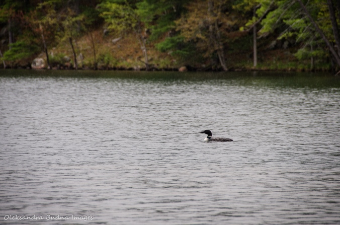 loon on Big Salmon Lake in Frontenac