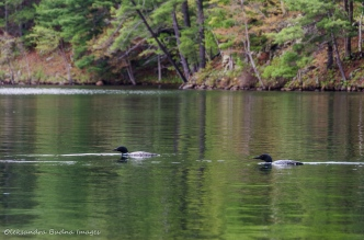 loons on Big Salmon Lake in Frontenac