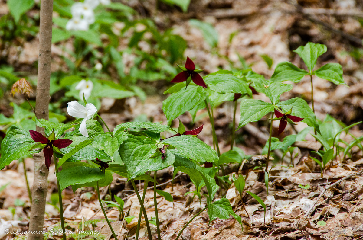 happy trails and trillium tales at the happy valley forest gone