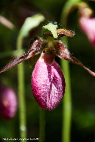 Lady Slipper flower