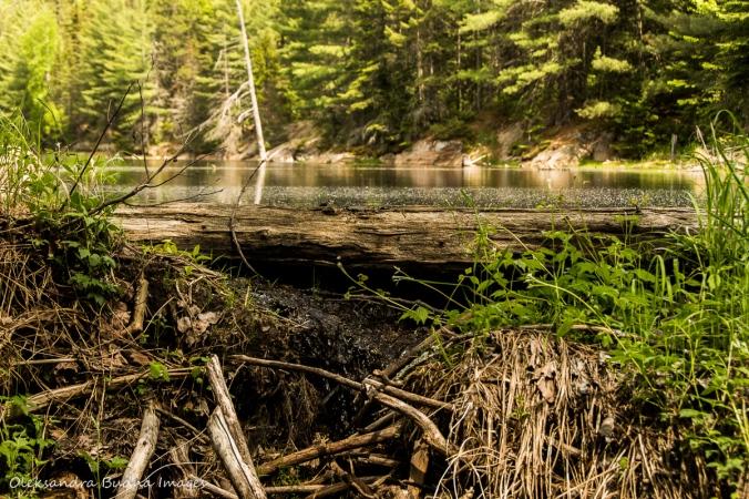 beaver dam along Centennial Ridges trail in Algonquin