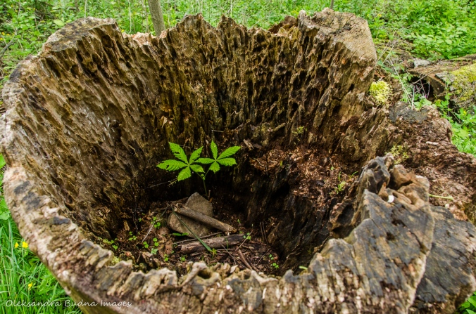 plant growing inside a stump