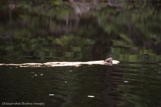 beaver on Faya Lake in Algonquin