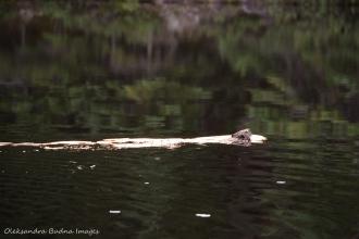 beaver on Faya Lake in Algonquin