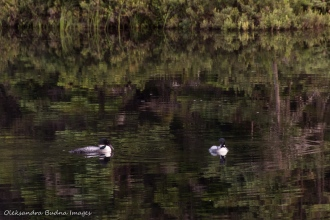 loons on Faya Lake in Algonquin