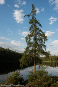 pine on Faya Lake site in Algonquin