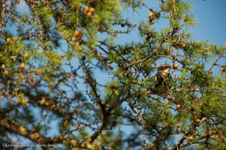 warbler in a pine tree
