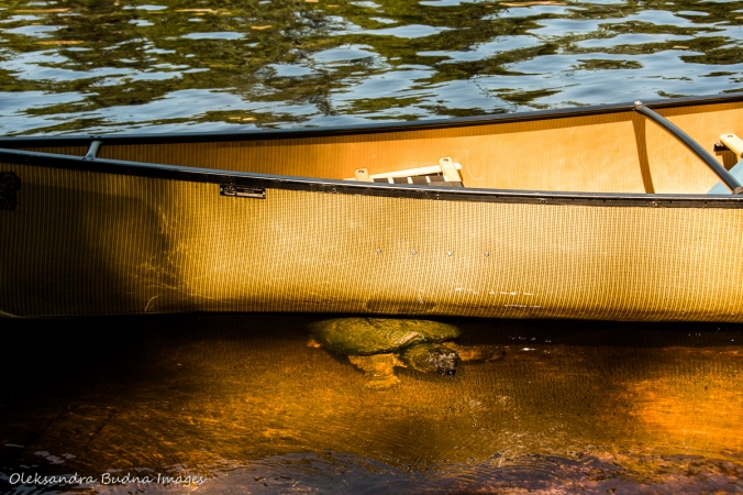 snapping turtle under a canoe