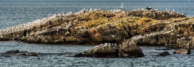 seabirds in Elliston in Newfoundland