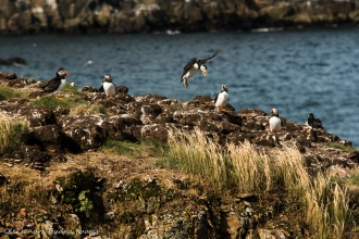 puffins in Elliston in Newfoundland