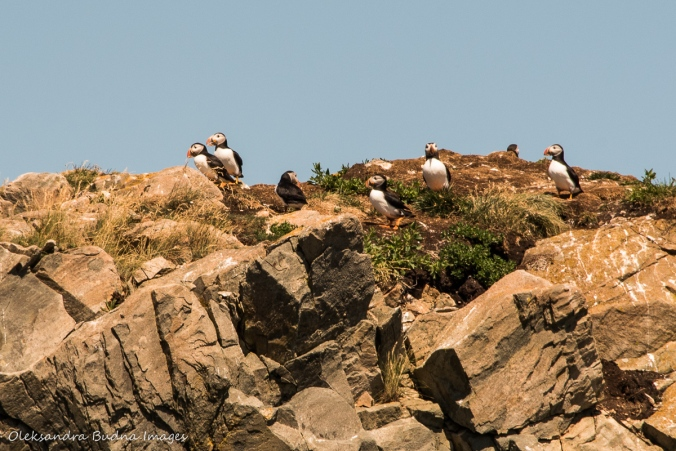 puffins at Cape Bonavista in Newfoundland