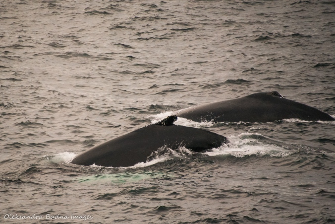 humpback whales in St. Anthony Newfoundland