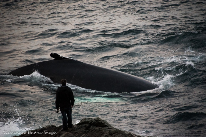 man and humpback whale in St. Anthony Newfoundland