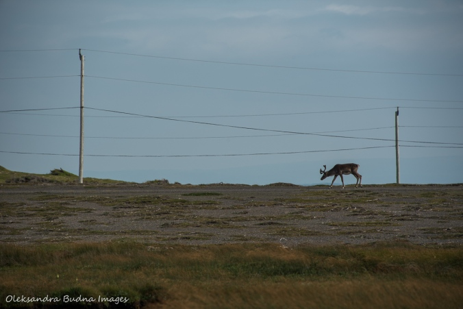 woodland caribou at Port au Choix in Newfoundland
