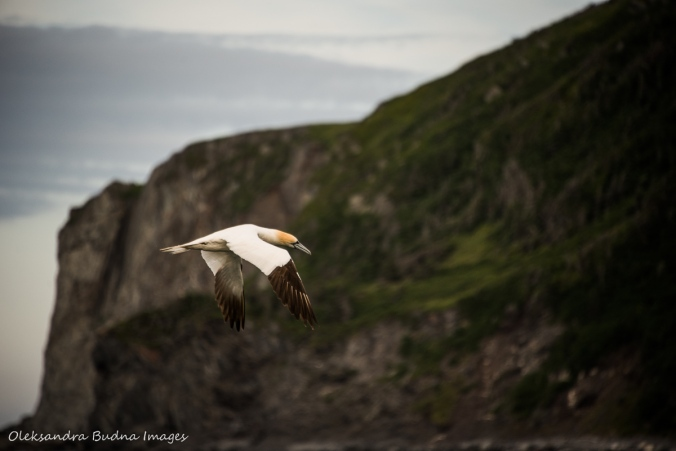 northern gannet in St. Anthony in Newfoundland