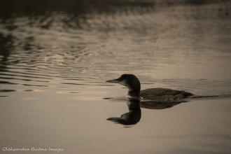 loon on the lake in Algonquin