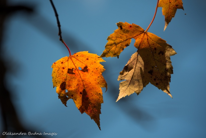 yellow leaves against blues sky