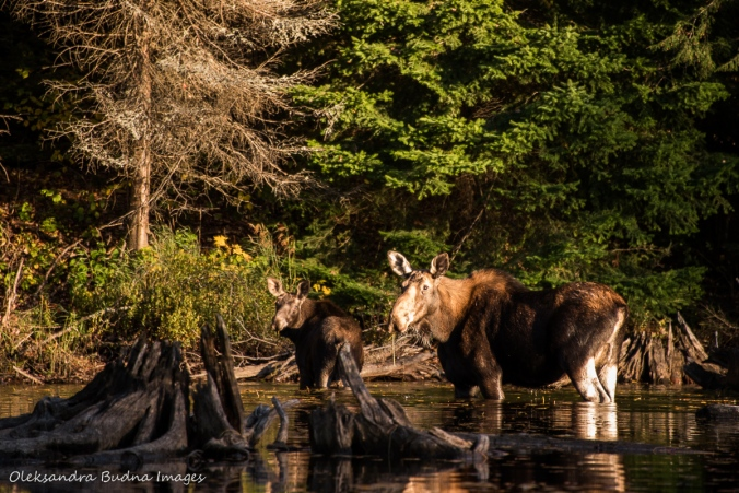 moose cow and calf in the lake