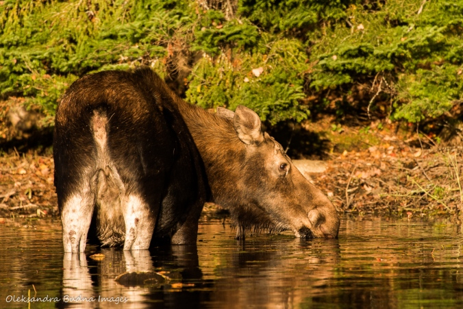 moose drinking water in the lake in Algonquin