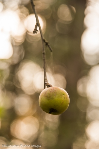 single apple on a branch