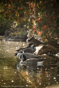 Geese at Rockwood Conservation Area