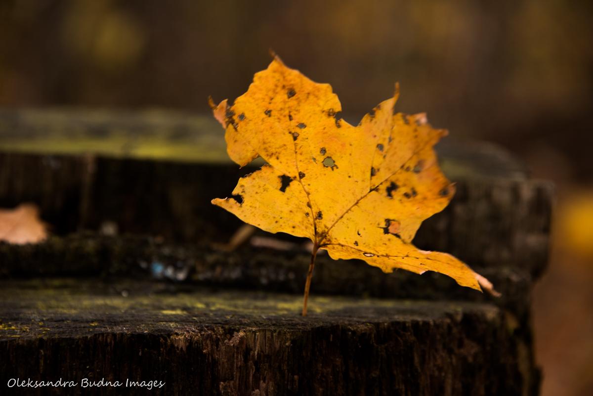 yellow maple leaf on a stump