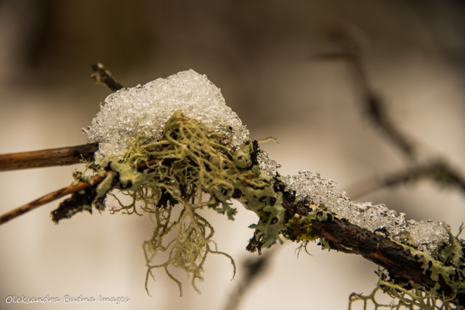 snow on moss on a branch