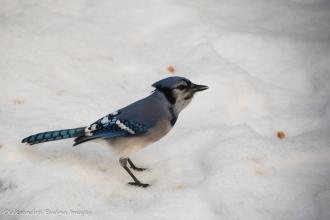 blue jay on the snow