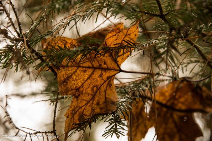 leaf on a fur tree branch