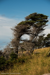 tuckamore tree in Gros Morne Newfoundland