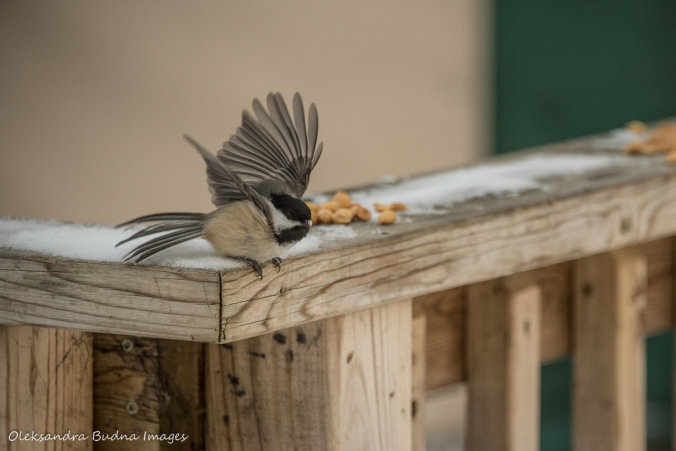 chickadees in Silent Lake Provincial Park