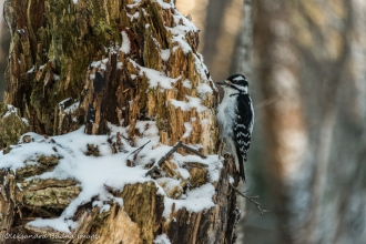 woodpecker in the winter