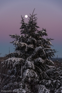 moon over a spruce in the winter in Parc National d'Aiguebelle