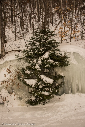 fir tree frozen in ice at Arrowhead Provincial Park