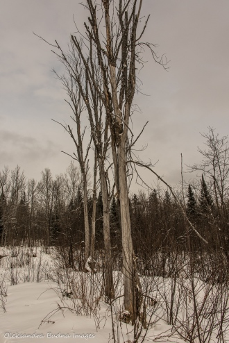three trees in Arrowhead Provincial Park in the winter
