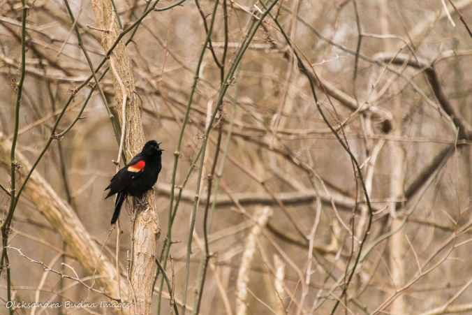 red-winged blackbird in a tree