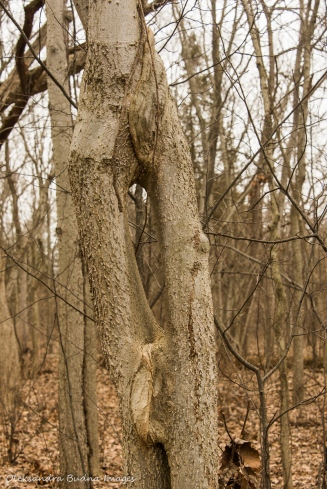intertwined hackberry tree